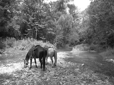 horses by river - MN horses